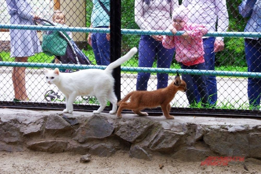 У кошки незамысловатая кличка. Ее родных котят сотрудники зоопарка уже раздали всем желающим.