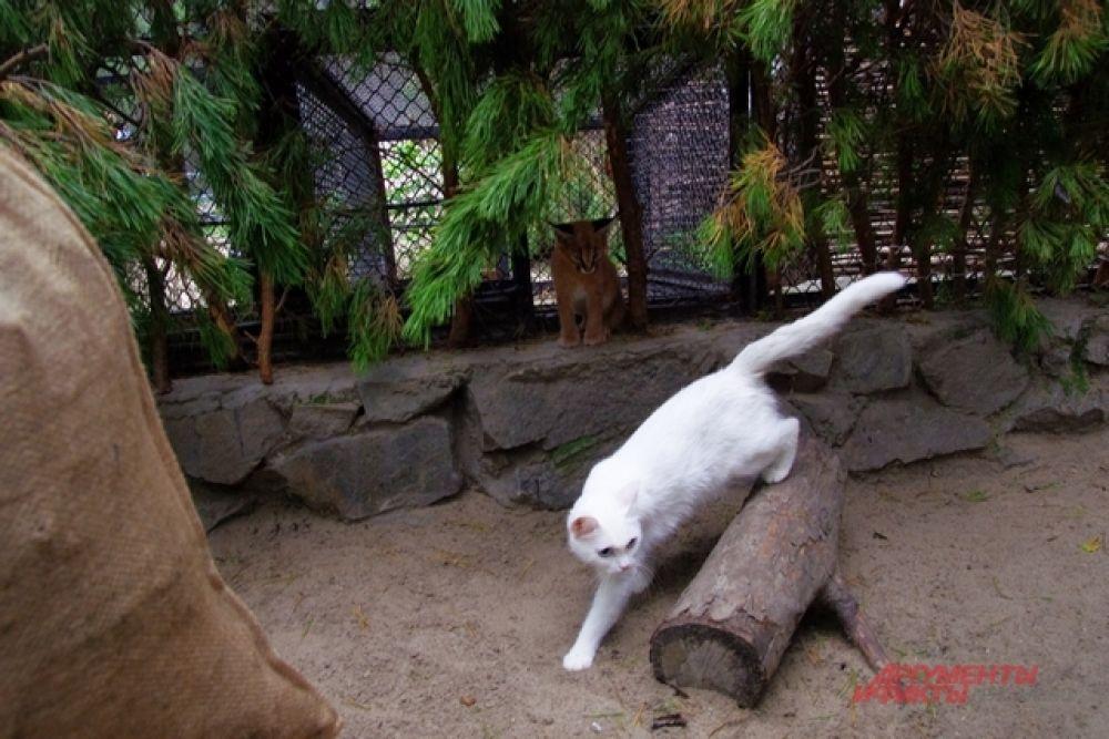 И тогда судьбу каракалов, а также сервалов доверили домашней белой кошке и ее черной подруге, которые раньше были бездомными, а потом их приютили в Новосибирском зоопарке.
