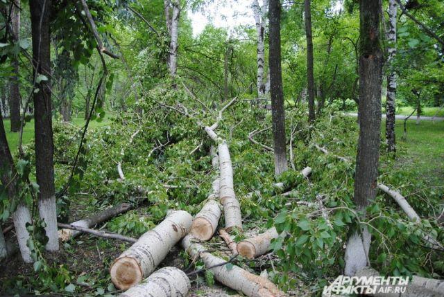 В Орске незаконно вырублен 41 клен на 265 тысяч рублей.