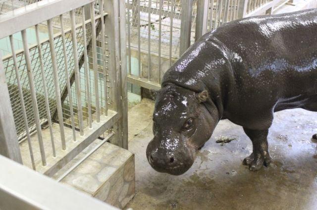 В зоопарк Калининграда из Литвы привезли карликового бегемота.