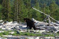 В Тюменской области открыта охота на бурого медведя и барсука