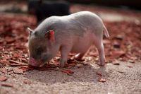 Заразиться АЧС помимо помимо свиней могут также дикие кабаны и мини-пиги.