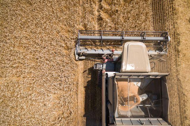 Зерновой рекордсмен. Кубань собрала небывалый урожай пшеницы