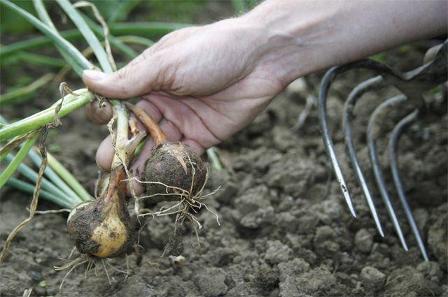 Что делать, если лук болеет пероноспорозом?