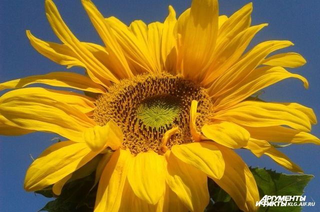 В Новом Уренгое на месте свалки цветут подсолнухи