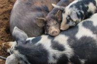 Опасный вирус для свиней пришёл в треть районов Омской области.