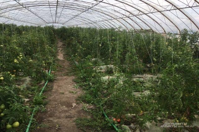 В китайских теплицах нормы по пестицидам, уверяют в Россельхознадзхоре, превышают в сотни раз.