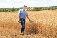 Белгородские селекционеры вывели сорта пшеницы, устойчивые к холодам и засухам.