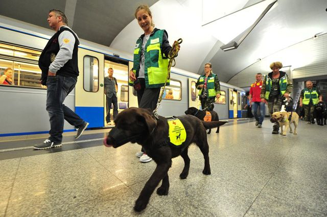 Обучение собак-проводников для сопровождения маломобильных пассажиров в московском метро.