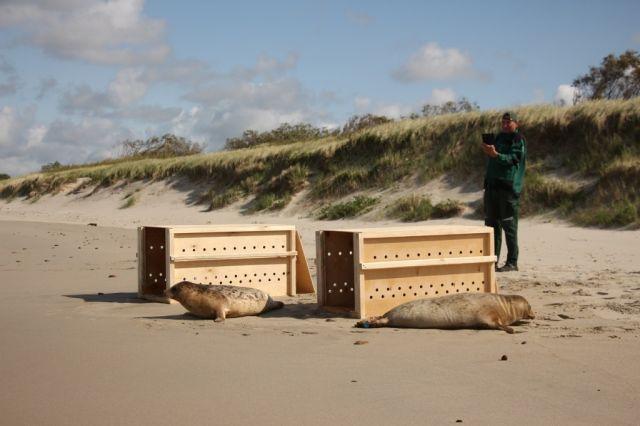 В Балтийское море выпустили тюленят, выращенных в зоопарке Калининграда.