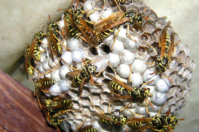 Симптомы при укусе осы: боль, зуд, жжение и появление аллергических реакций.