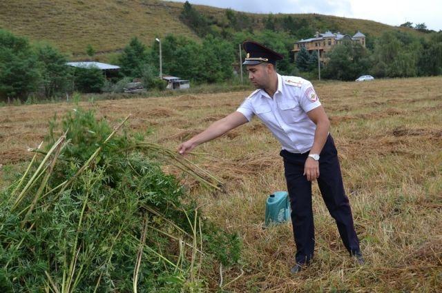 Полицейские уничтожили обнаруженную коноплю.
