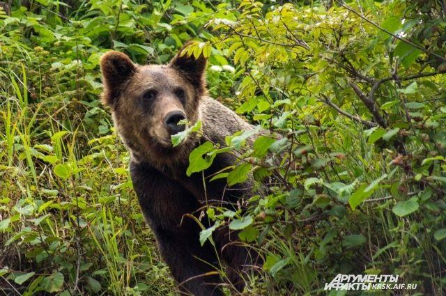 Медведь напал намужчину вКрасноярском крае