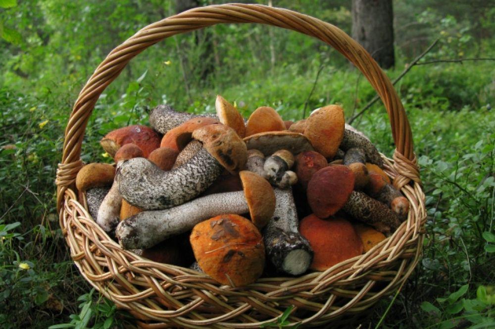 В сентябре лукошко быстро наполняется грибами.