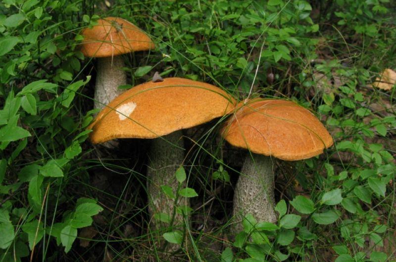 Желто-бурый подосиновик - наиболее известная разновидность этого гриба.