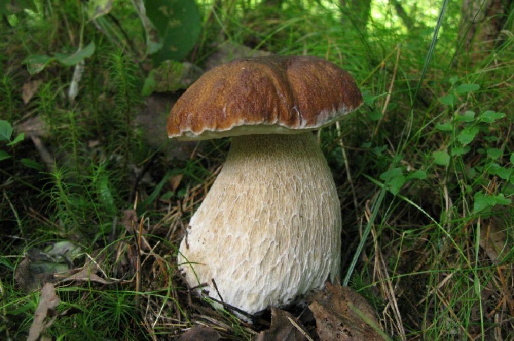 Белый гриб - самый желанный у грибников.