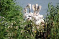 За убийство краснокнижного пеликана грозит огромный штраф.