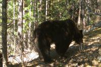 Медведи часто заходят «в гости» на пригородные дачи.