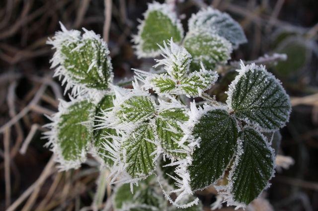 Первые заморозки синоптики прогнозируют уже на этой неделе.