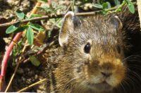 Мышь, заяц, Чебурашка - на кого похожа пищуха?