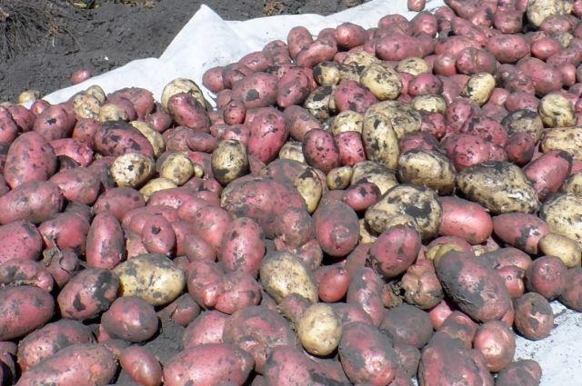 Картофель для сибиряков - второй хлеб.