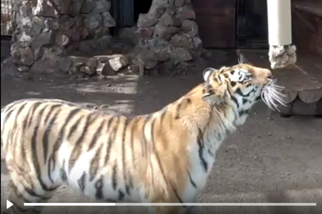 Зрители могут увидеть, как эти «большие кошки» играют с подвешенной трубой.
