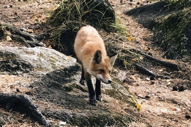 Лисица привыкла питаться натуральной пищей и бутерброды могут ей повредить.