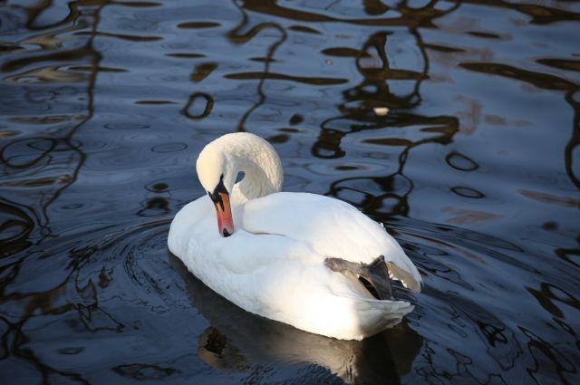 Лебеди - одни из самых красивых птиц