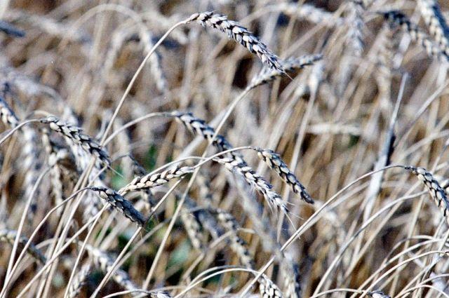 испытания проводились на раннеспелой пшенице сорта «Ирень».