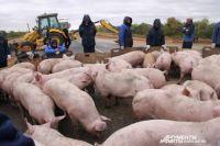Здесь рабочие были уверены, что хрюшки сыты - им насыпали корм.