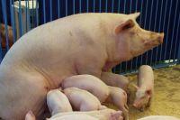 Поголовье свиней сократили на 40 тыс. голов.