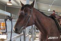Калининградец получил травмы в ДТП с лошадью.