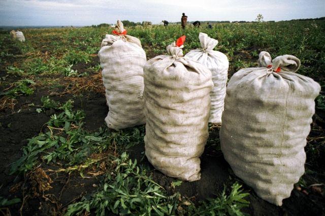 На своих личных огородах и общественных полях кузбассовцы уже почти закончили уборку картофеля.