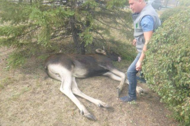 ВКиеве спасли огромного лося, приплывшего встолицу поДнепру