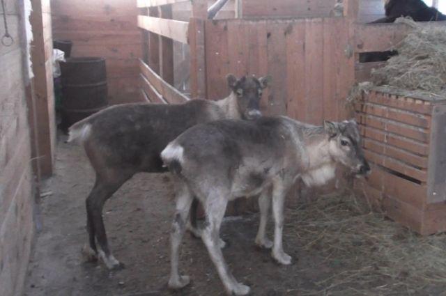 Ямальские ветеринары проверяют качество продукции на забойных комплексах
