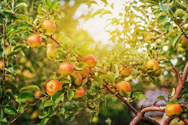 Когда будет яблочный год?