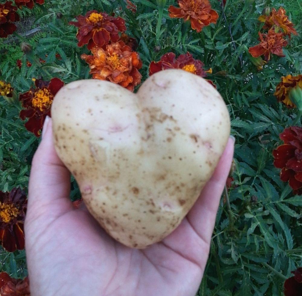 Участник №7. Ольга Лебедева, Саянск. «Вот такую интересную картофелину я выкопала на даче. Надеюсь, этот экземпляр порадует не только меня!»