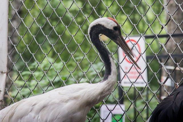 Журавль признан одной из крупнейших птиц в Европе.