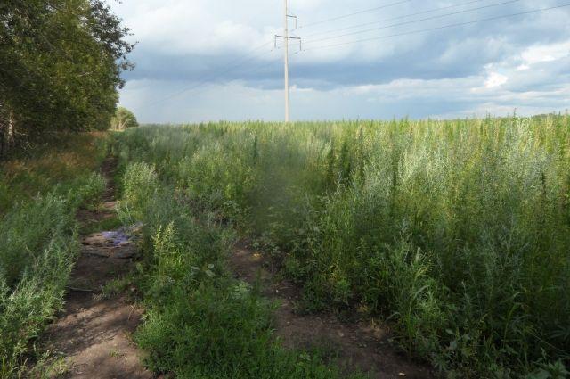 Сорняк распространяется на заброшенных участках и свалках.