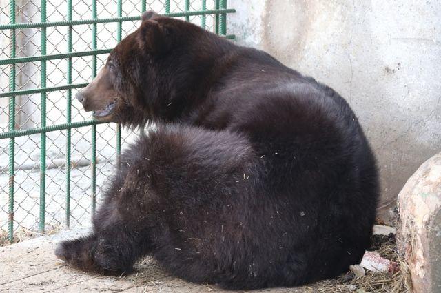 Ямальский медведь оказался не виноват