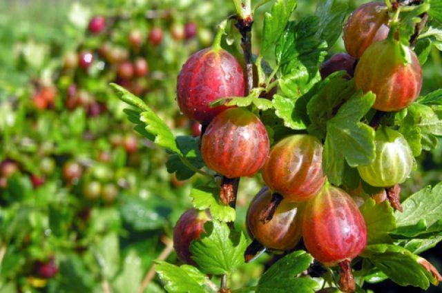 Что делать с ягодными кустарниками осенью?