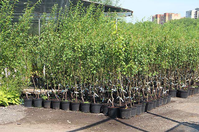 От ожогов до вирусов. Как защитить плодовые деревья и кустарники