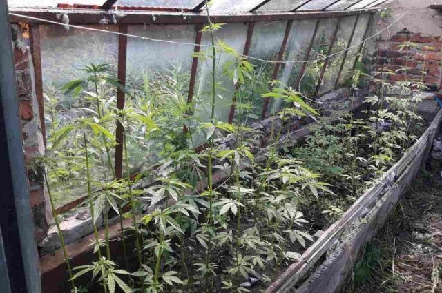 Омич выращивал коноплю в гараже.