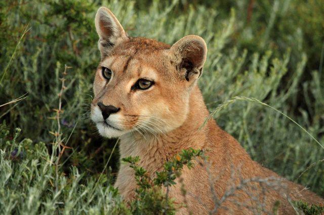Домашний хищник. Как горный лев превратился в кота-мурлыку
