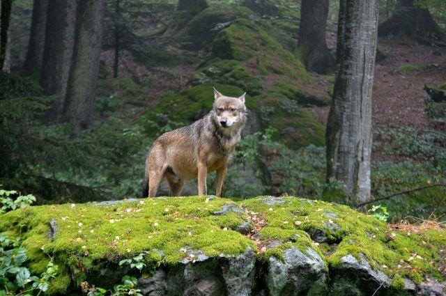 Мальчик сначала услышал, а затем увидел волка, и залез на дерево.