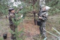 Сбор шишек проходил в городском участковом лесничестве Омского лесничества.
