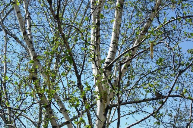 Кузбассовец отправится под суд за незаконную рубку леса.