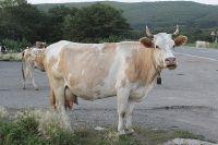 Пострадали ли корова в аварии, точно не известно.