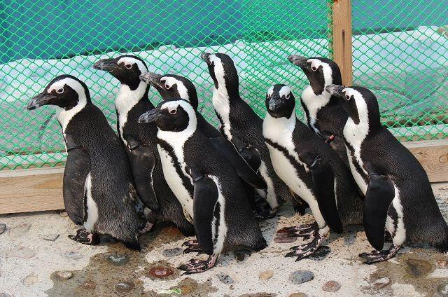 Два месяца назад у пары очковых пингвинов Лёни и Мафы появился птенец.
