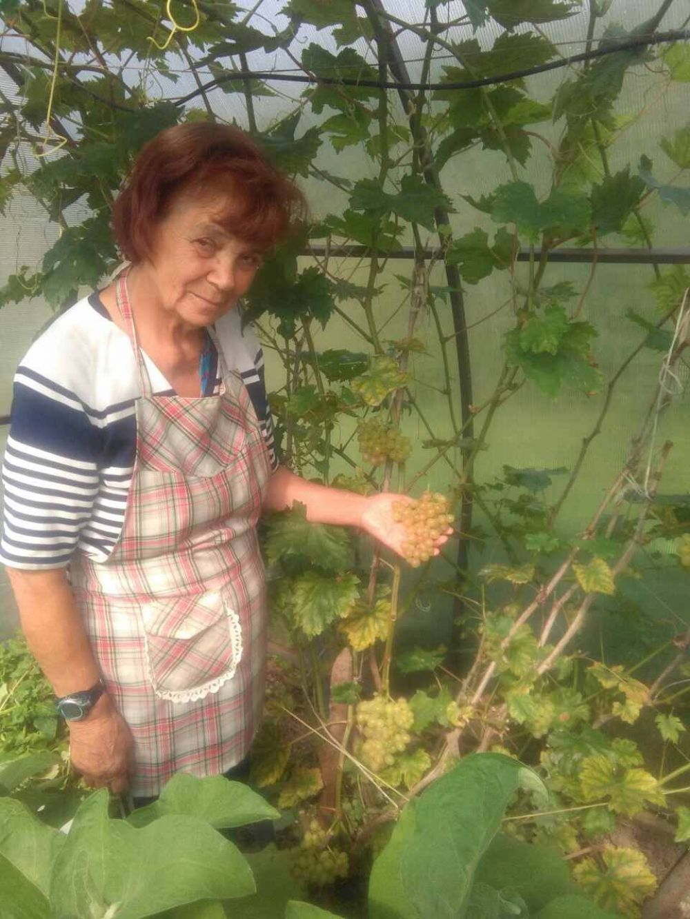 Участник № 25. Любовь Смолякова: «Что нам дождь, что нам град - зреет, зреет виноград».